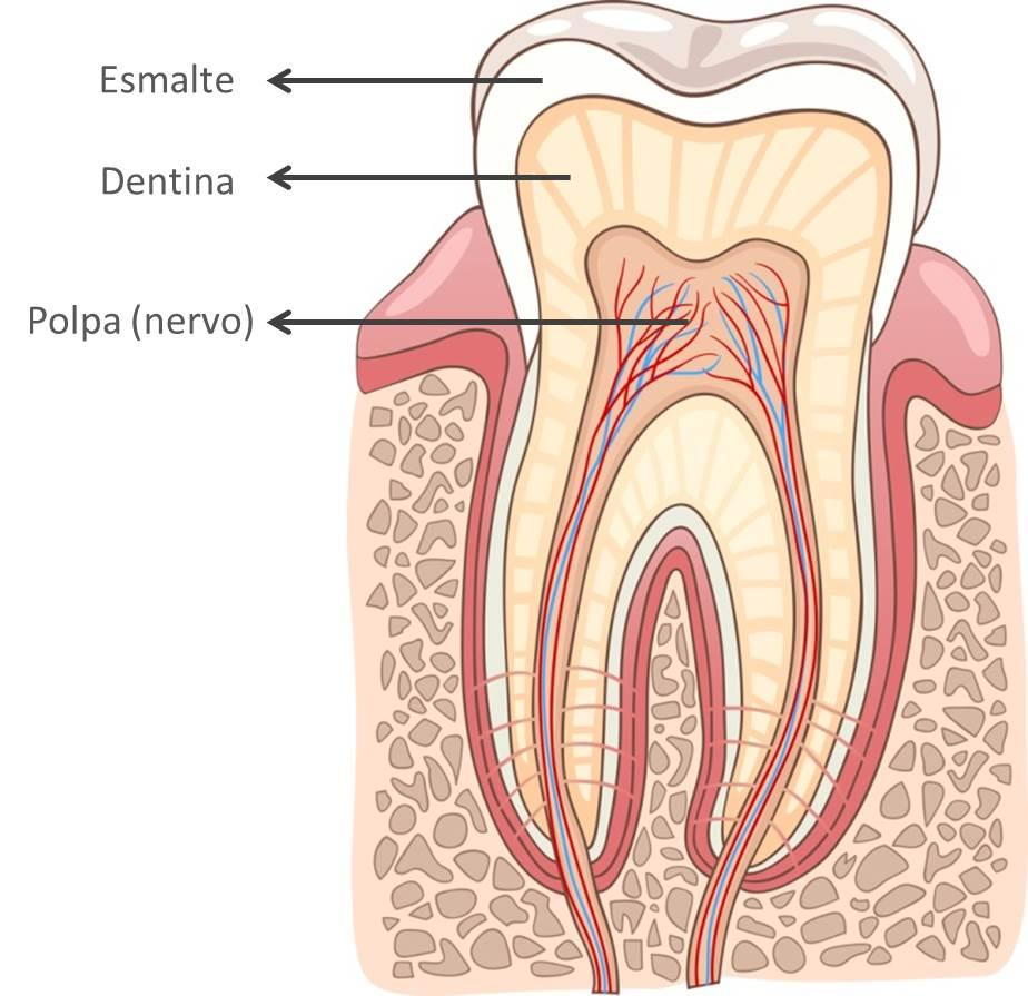Tecidos dentários